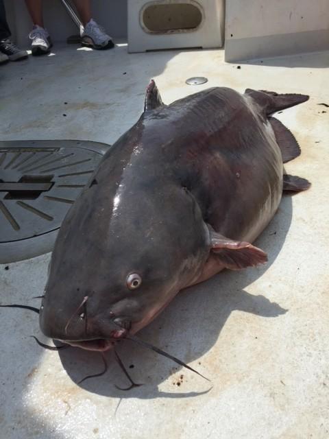 80 lb Blue Catfish Caught Aboard the Chesapeake Bay Foundation's Education Vessel, Bay Watcher. Courtesy of the Chesapeake Bay Foundation.