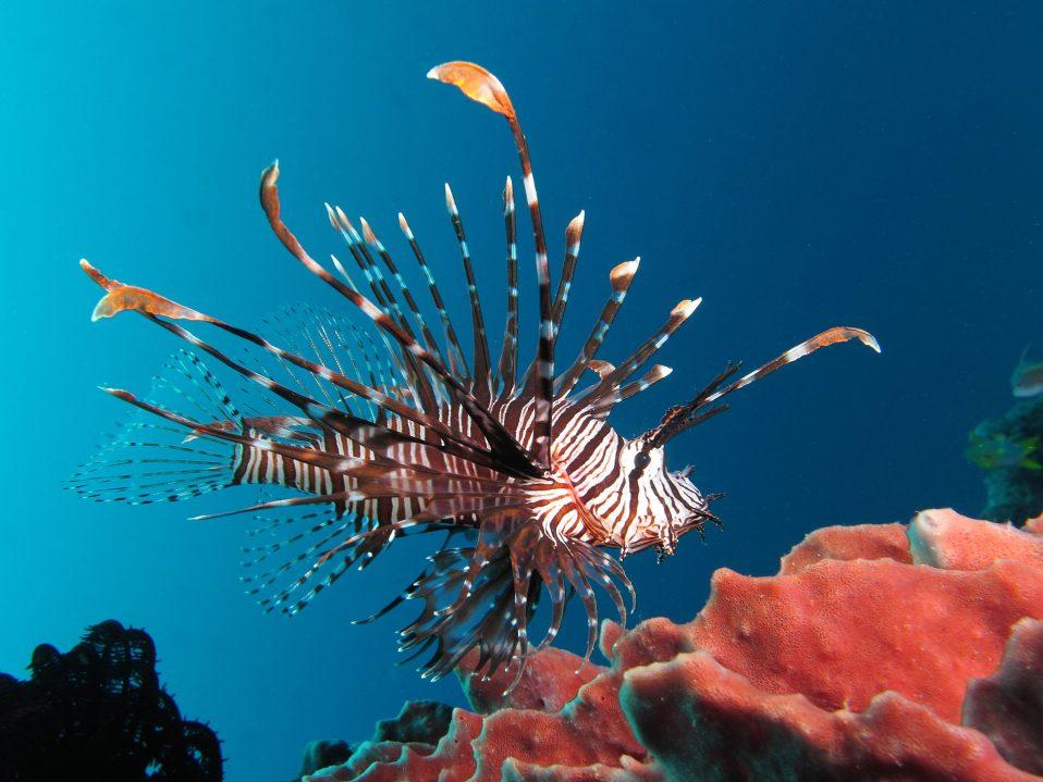 Red_lionfish_near_Gilli_Banta_Island